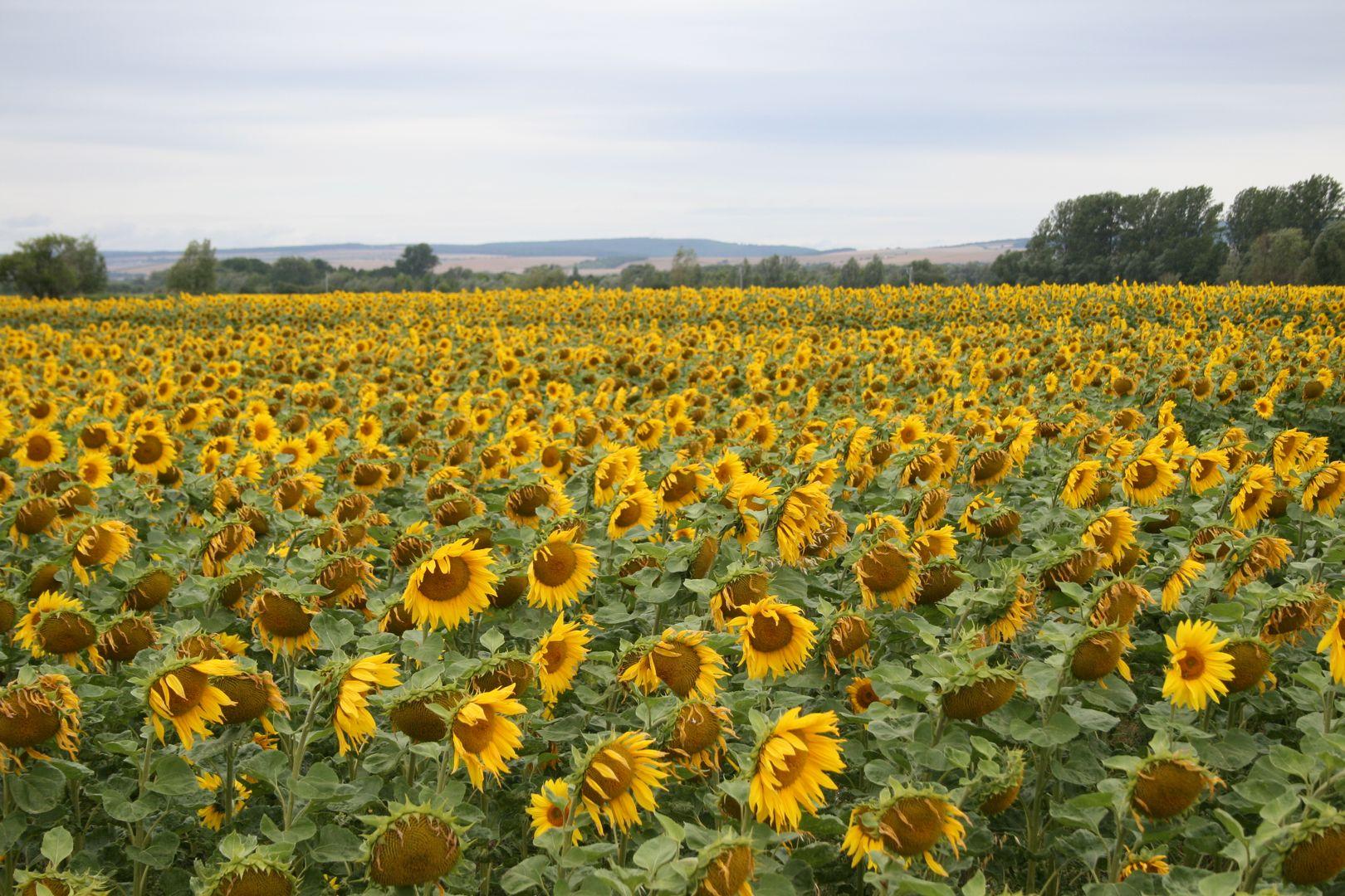 Sonneblumen während der Blüte
