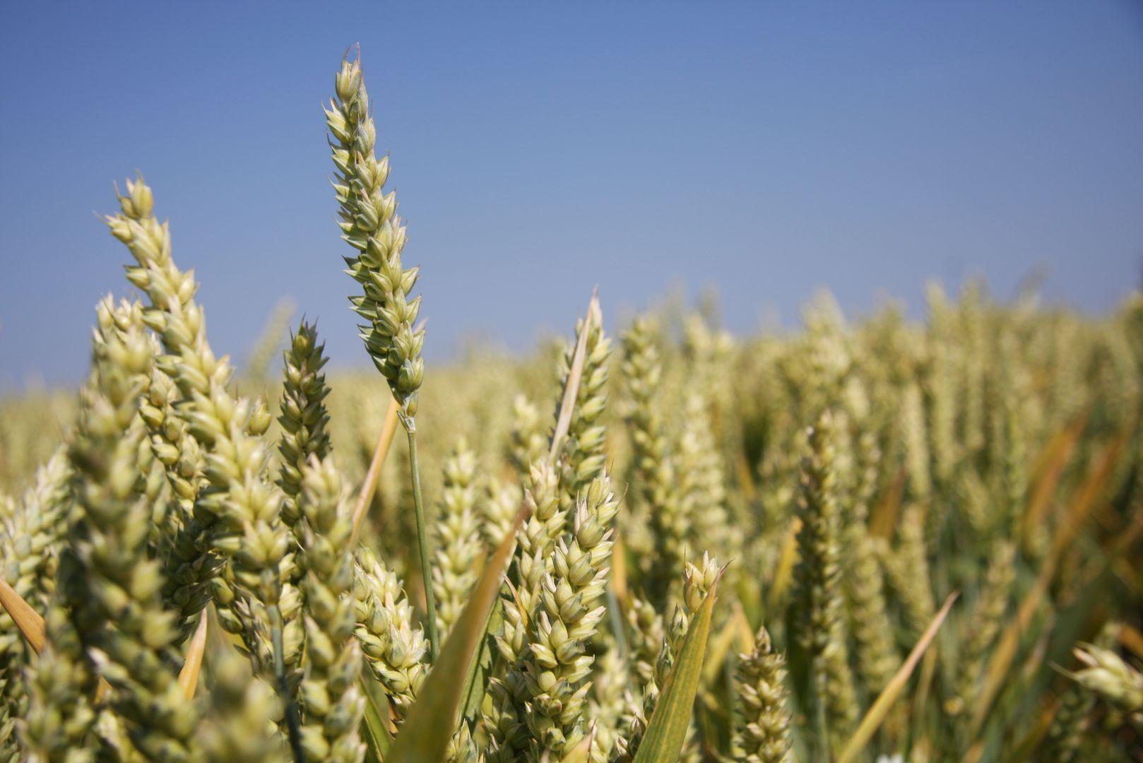 Weizenähren zu Beginn der Reife vor blauem Himmel