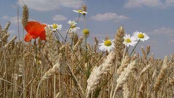 Fast reife Getreideähren im Weizenfeld mit Blüten von Mohn und Kamille