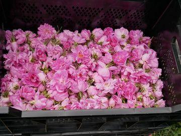 Geerntete Rosenblüten