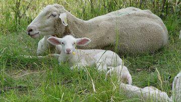 Mutterschaf mit Lamm auf der Weide, Foto: Maik Schwabe