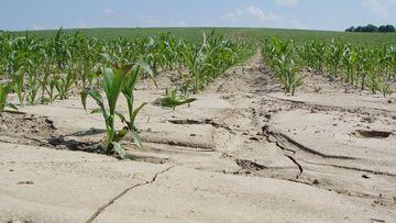 Ackerfläche mit langen Maisreihen senkrecht zum Hang und abgeschwemmten Boden
