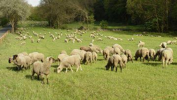 Schafe in Netzhaltung, Foto: Maik Schwabe