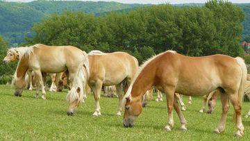 Haflinger-Pferde auf der Weide, Foto: Maik Schwabe