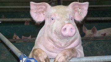 Schwein imStall, Foto: Simone Müller