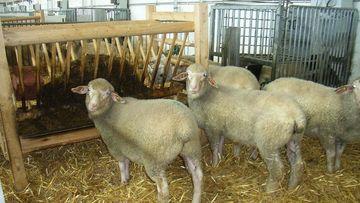 Schafe an der Futterraufe, Foto: Heike Lenz