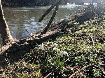 Schneeglöckchen am Ufer der Saale