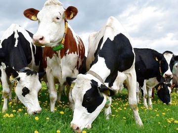 Milchkühe auf der Weide, Foto: Maik Schwabe