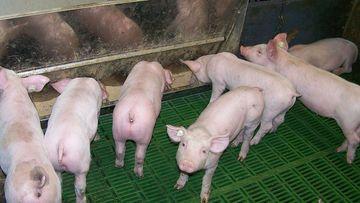Schweine im Stall, Foto: Arndt Heinze