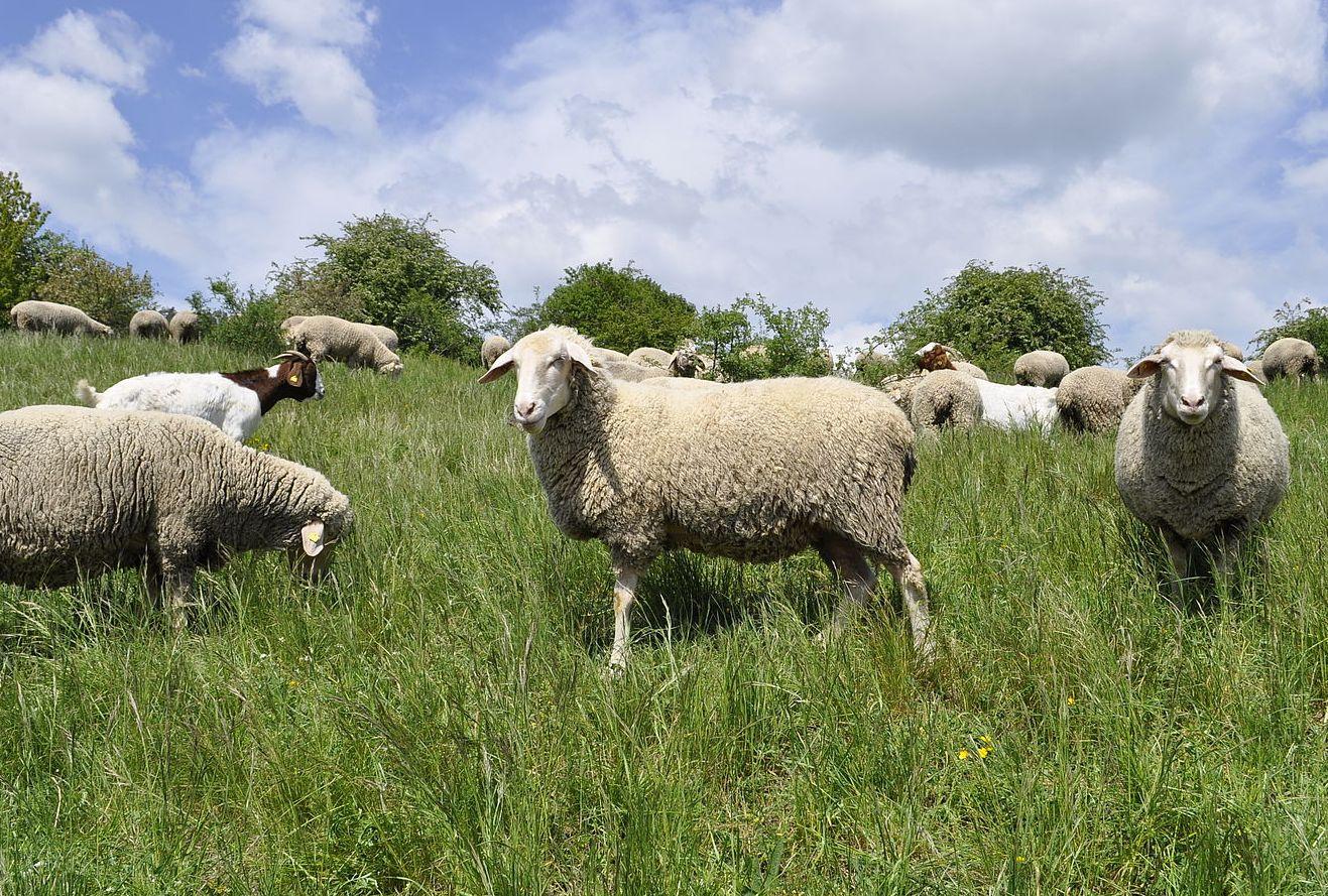 Schafe und Ziegen beim Fressen auf der Weide