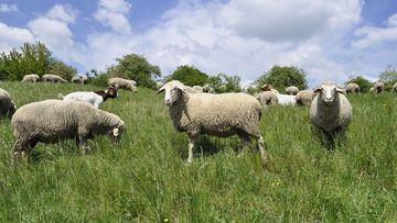 Schafe und Ziegen auf Weide, Foto: Maik Schwabe