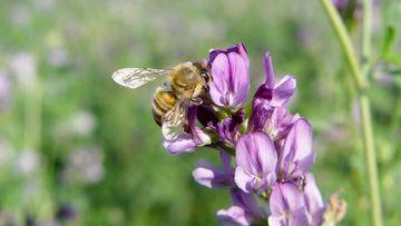 Biene auf Luzerneblüte, Foto: Maik Schwabe