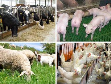 Milchrinder, Schweine, Schafe, Hühner