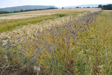 Getreidefeld im ökologischen Anbau