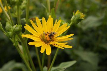 Blüte der Durchwachsenden Silphie mit Honigbiene