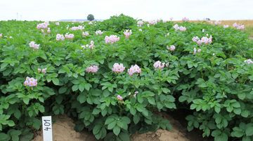 Kartoffelpflanzen mit violetten Blüten