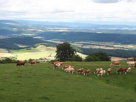 Mutterkühe auf Grünlandfläche in einer Mittelgebirgslandschaft