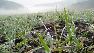 Junge Getreidepflanze mit Wassertropfen und Nebel im Hintergrund
