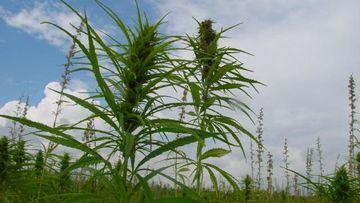 Hanfpflanze am Feld