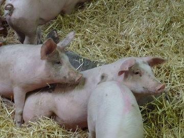 Jungschweine auf Stroh