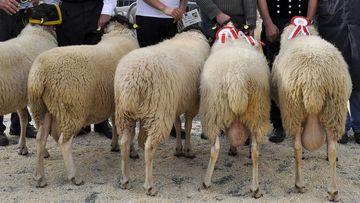 Schafzuchtprämierung, Foto: Maik Schwabe