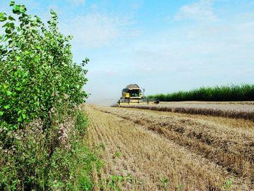 Weizenernte im Agroforstsystem