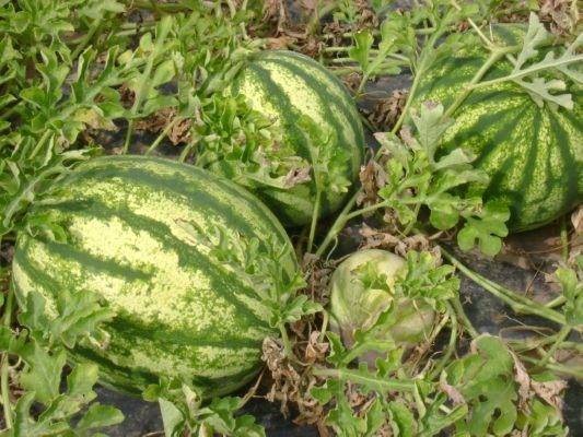 Freilandanlage Gemüsebau, Wassermelonen