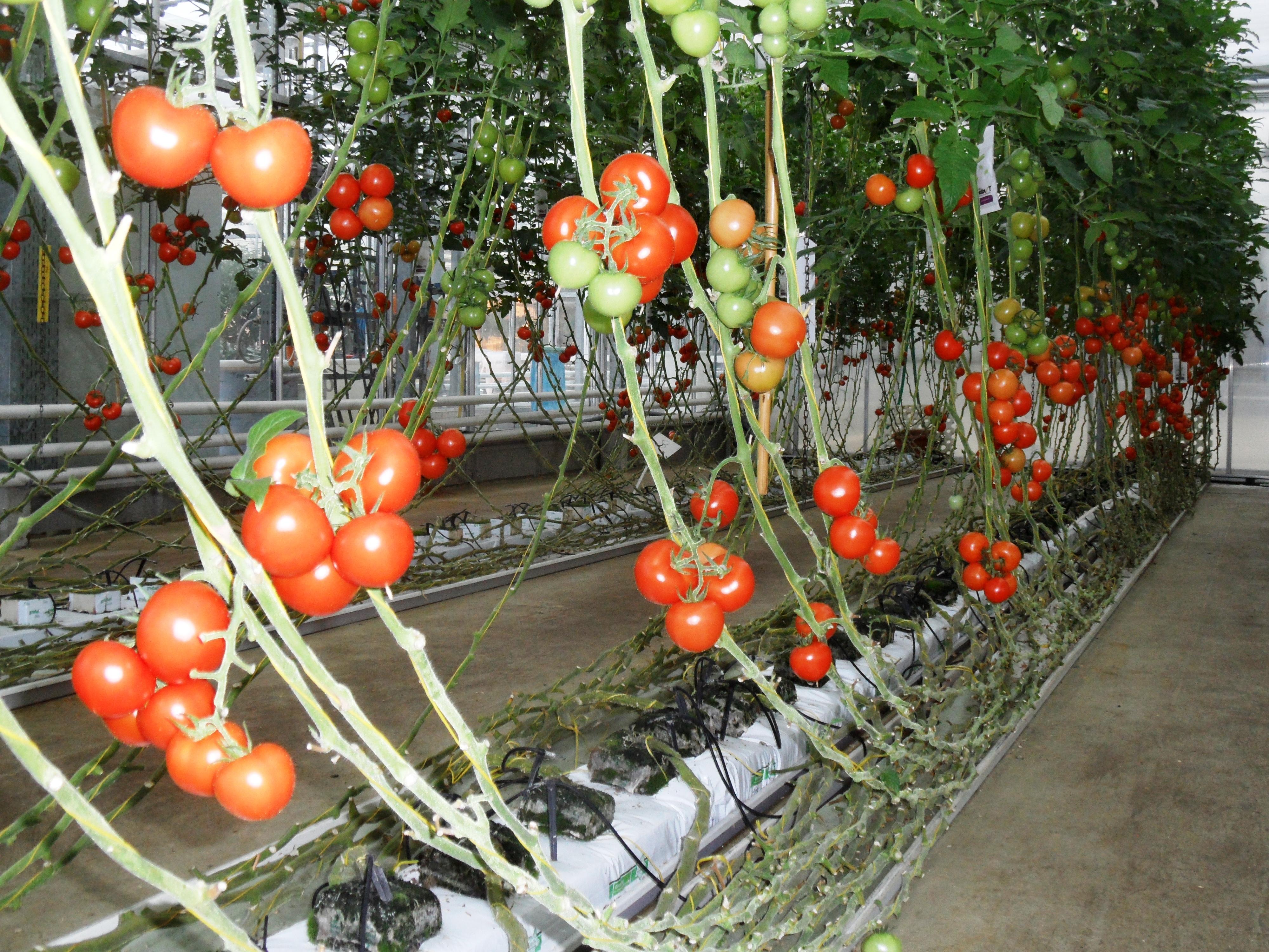 Tomaten im Substratenbau