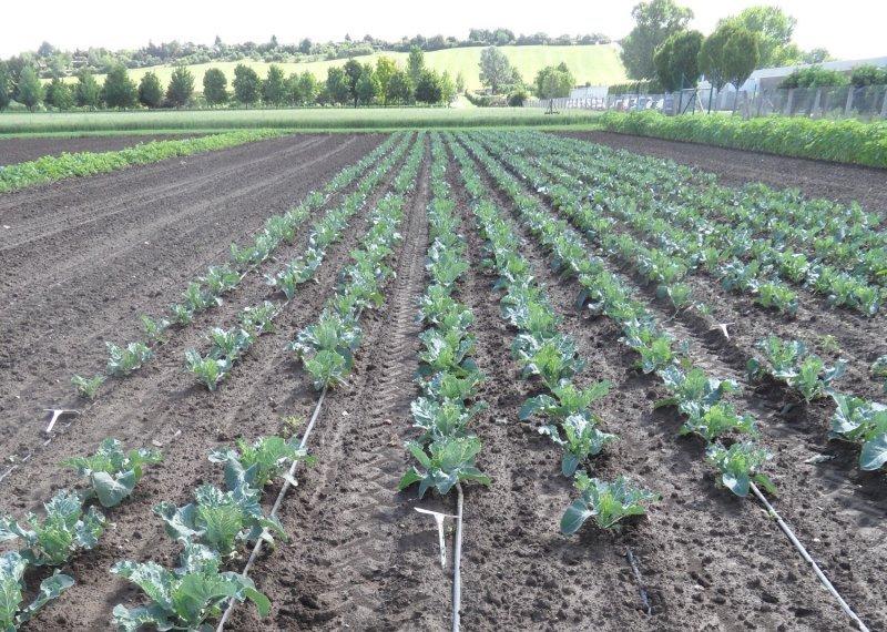 Tropfbewässerung im Blumenkohlfeld