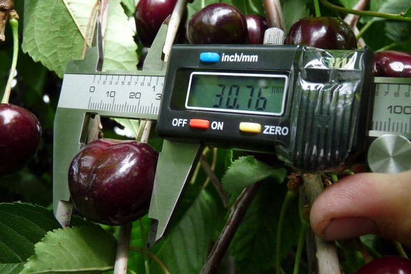 Elektronisches Messgerät zur Bestimmung der Fruchtgrösse von Kirschen