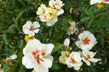 Nahaufnahme Blüten
