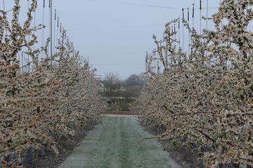 vereiste Bäume nach Frostschutzberegnung in Kirschplantage