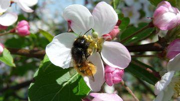 Mauerbiene in Apfelblüte