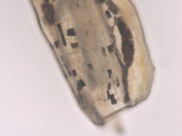 Phomopsis sclerotioides