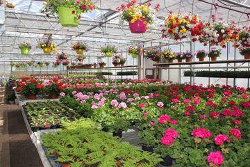 Gewächshaustische bestückt mit blühenden Pflanzen