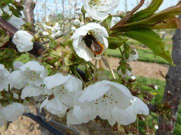 Gehoernte Mauerbiene an Kirschblüte