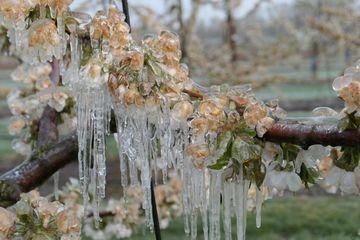 Frostschutzberegnete Kirschzweige