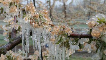 Vor Frost durch Beregnung geschützte Kirschblüten