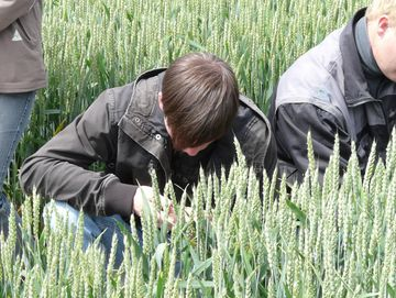 Schüler betrachtet Ähren auf dem Weizenfeld genau
