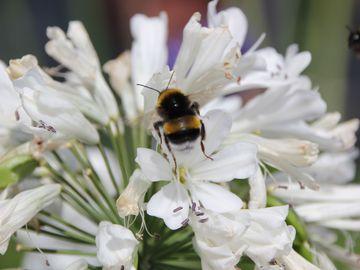 Nahaufnahme Blüte mit Hummel