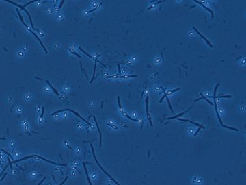 Bacillus spp.